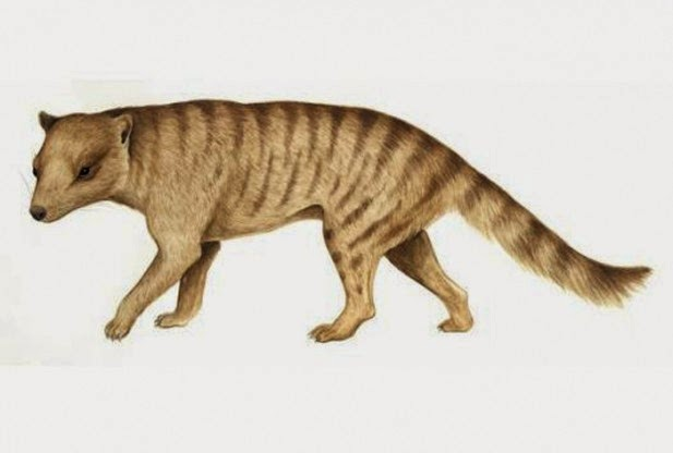 ancient thylacine