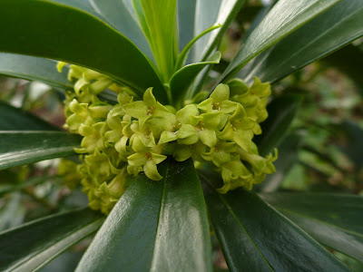 Daphne laureola (Daphne-laurel) flowers and leaves