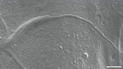Espermatozoide de 50 milhões de anos é encontrado na Antártida