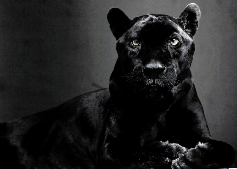 Пума блэк puma black 19 фотография