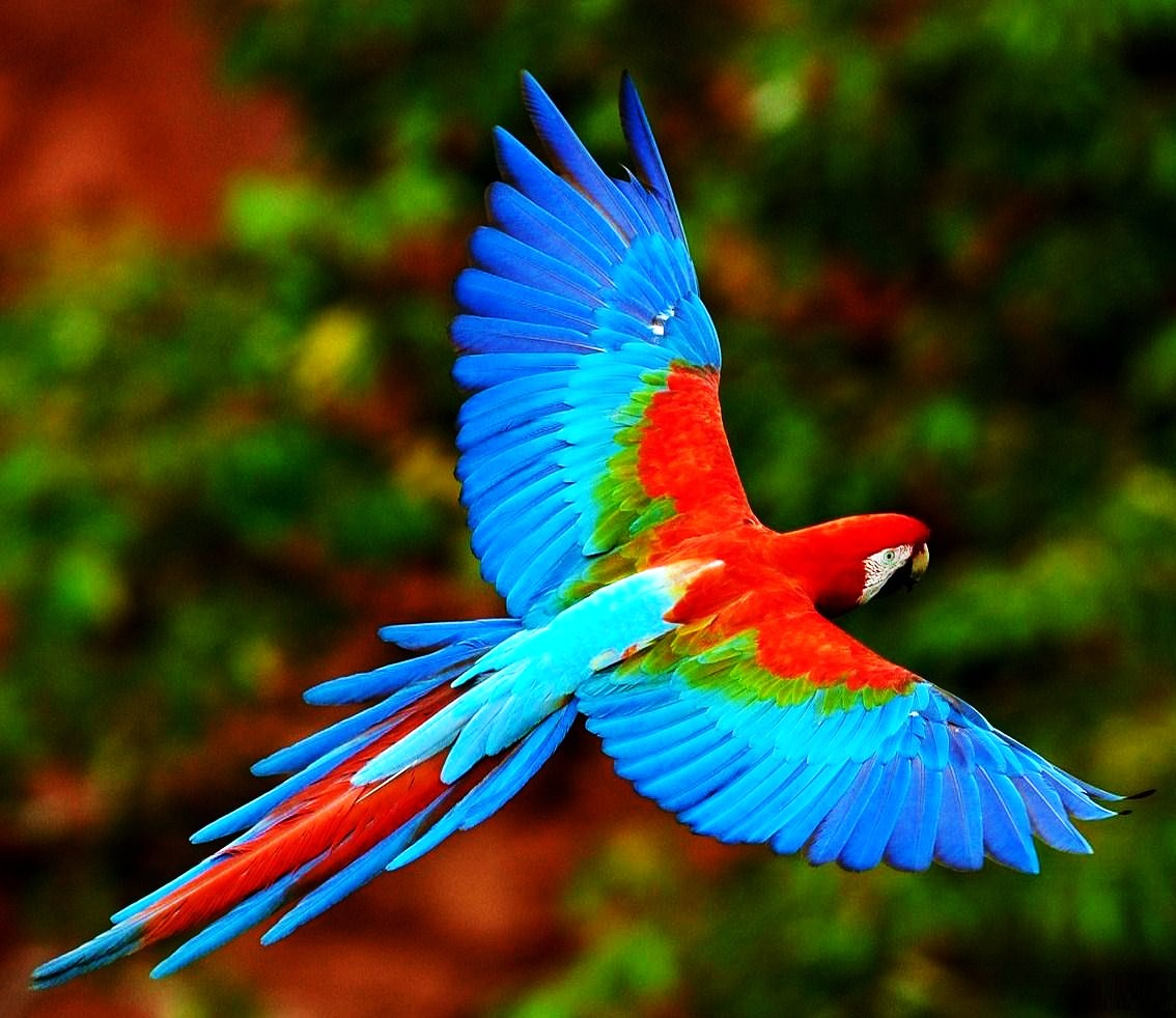 Birds of the World: Red-and-green macaw Coconut Tree Rainforest