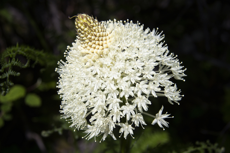 loving washington state bear grass flower xerophyllum tenax