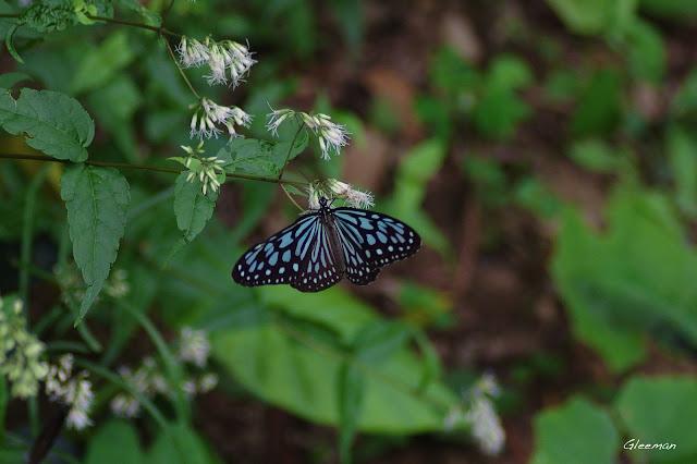 雞南山散步,琉球青斑蝶(旖斑蝶)
