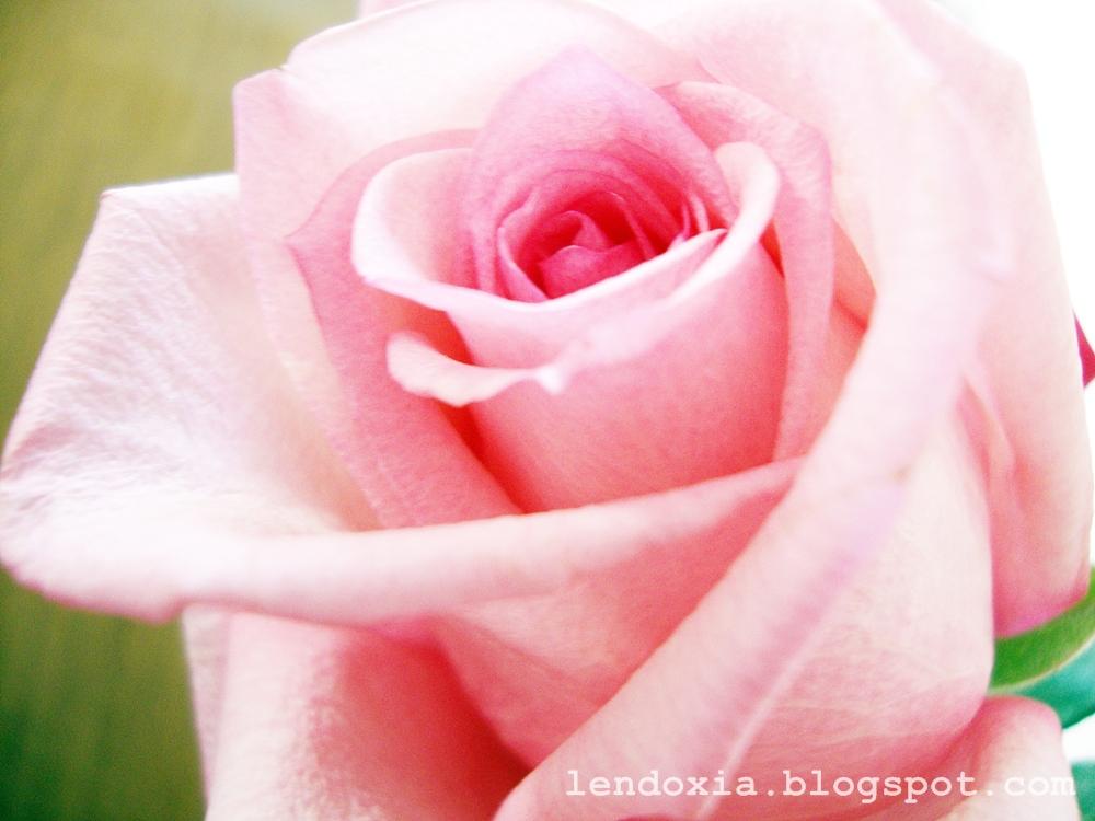 roza ruza