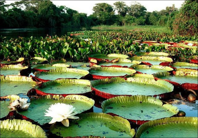 Largest Water Lily in the World's