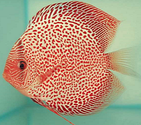 red leopard snakeskin discus