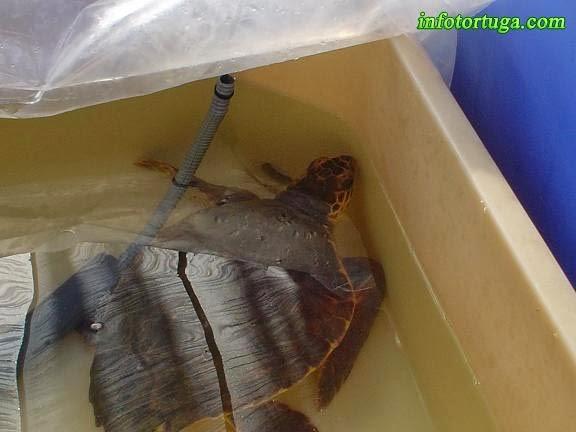 Tortuga boba recuperándose de sus heridas