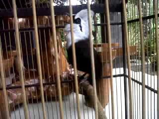 Burung Poksay/Poksai Jambul Putih- Mengenal Lebih Dekat Burung Poksai Jambul Putih-Poksay Jambul Putih-Makanan Yang Dibutuhkan-Keunggulan Burung Poksay Jambul Putih-Kelemahan Burung Poksai Jambul Putih  Burung Poksai jambul putih (Garrulax Leujcolophus/White Crested Lauhging Thrush) di kenal sebagai rajanya burung poksay. Burung ini berhabitat asli Thailand dan pada beberapa waktu lampau banyak diimpor ke indonesia. Tingkah lakunya mudah dikenali karena selalu bergerak di dalam sangkar. Bulunya didominasi warna putih dan coklat. Bulu bagian kepala sampai ke batas mantel dan bagian bawahnya hingga ke perut berwarna putih. Bulu hitam tampak membentang menyerupai pita dari pamgkal paruh melewati garis mata hingga ke bagian telinga. Bulu sayap sampai ke ekornya berwarna cokelat, sedangkan pada bagian ujung bulu sekunder warna coklatnya tampak lebih tua. Paruh poksai jambul putih berwarna hitam, kekar, dan lebih besar dari kerabatnya. Matanya lebar dan hitam bersinar. Kakinya yang hitam dan kokoh membuatnya tampak kekar dan berwibawa saat berkiau. Jenis burung lokal yang tampak mirip dengan burung poksai jambul putih dan sering pula di tawarkan sebagai posai cina adalah poksai medan. Kedua burung ini mempunyai ciri-ciri yang beda sehingga bisa di bedakan. Poksai medan tubuhnya lebih kecil. Walaupun bulukepalanya berwarna putih, poksai medan tidak memiliki jambul di kepalanya. Perbedaan yang mencolok trampak pada bulu sayap, dada, dan ekor poksau medan yang berwarna kehitaman. Suara poksai jambul putih, sekaligus menjadi ciri khasnya lebih besar dan keras terasa enak didenharkan.   Makanan Yang Dibutuhkan  Di alam, burung poksay jambul putih mencari pakan di tanah atau percabangan pohon yang lebih rendah. Pakan burung poksai jambul putih ini berupa serangga di dedaunan, biji-bijian, atau buah-buahan yang terjatuh  Keunggulan Burung Poksay Jambul Putih  Daya tarik yang memikat dari poksai jambul putih berhubungan dengan penampilan dan tingkah lakunya. -Gagah Penampilannya 