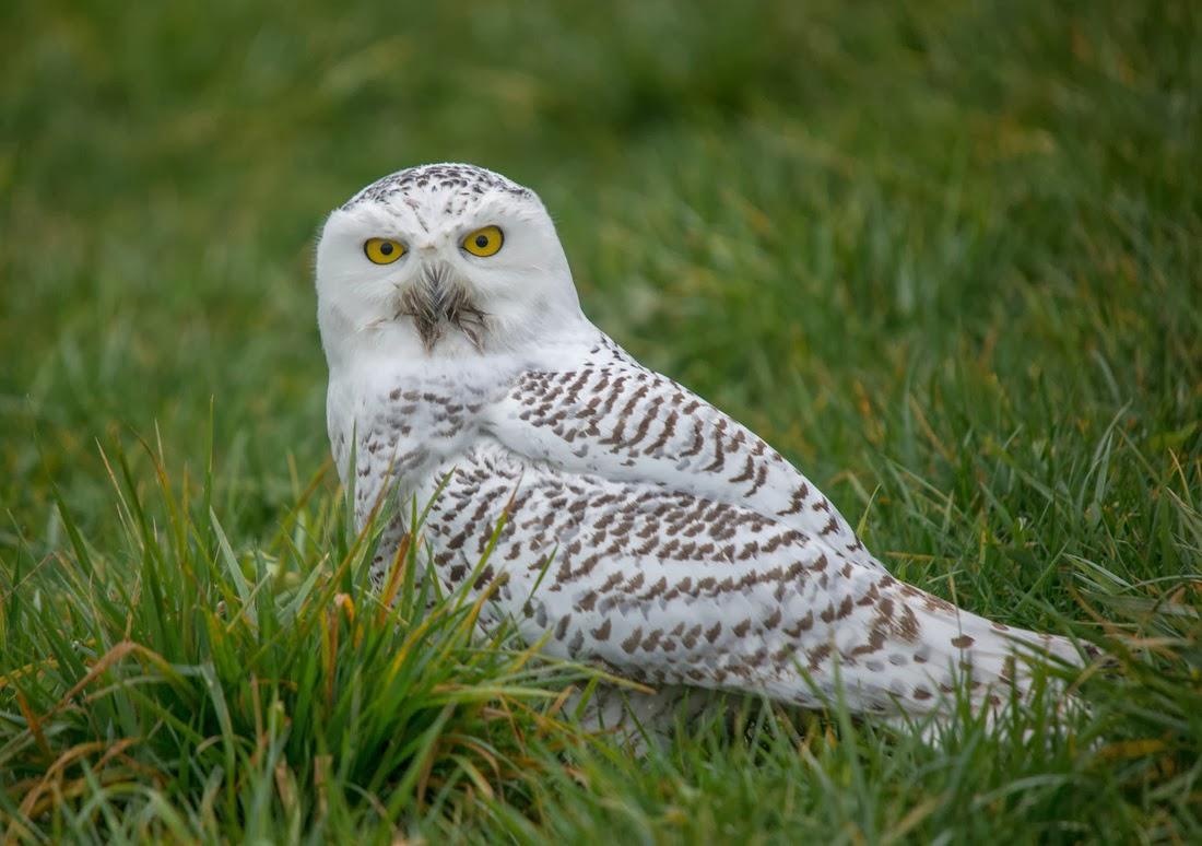 Tundra, Rare Snowy White Owl Visits Brevard NC!