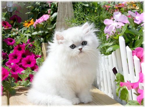 What Will Kittens Of A Peke Faced Cat Look Like
