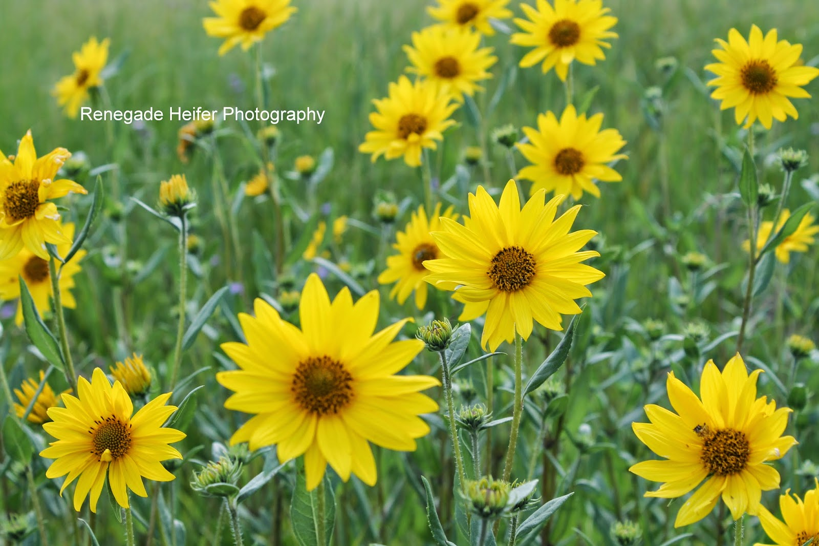Photo Name Sunny Yellow Prairie Flower Close Up