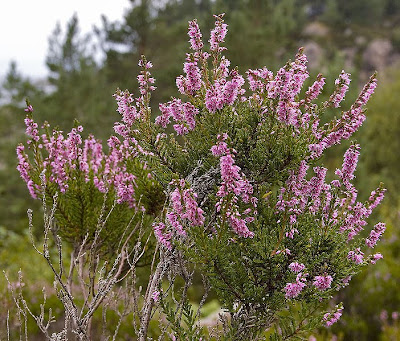 The bonny, bonny heather - by Aqwis at Wikimedia Commons - released under Creative Commons Attribution-Share Alike 3.0 Unported license.