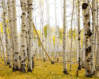 Aspen Tree Art, Crested Butte Artwork, Aspen Art
