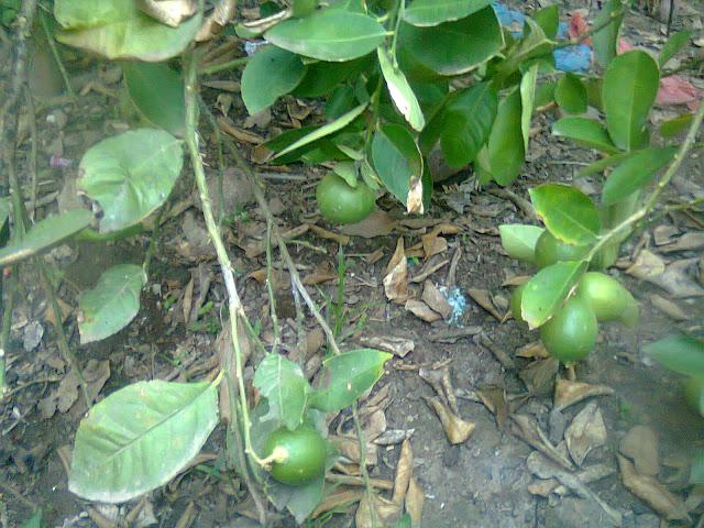 Jeruk Nipis Berbuah