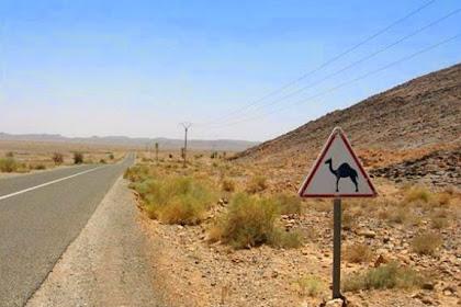 Kabur, Pria Ini Kejar Unta di Jalan Tol