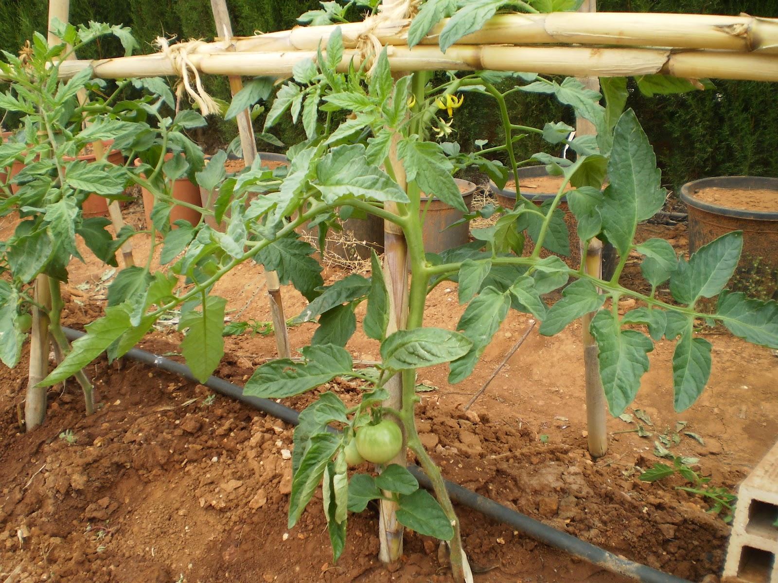 El blog de la elena un blog dulce divertido y - Cuando plantar tomates ...