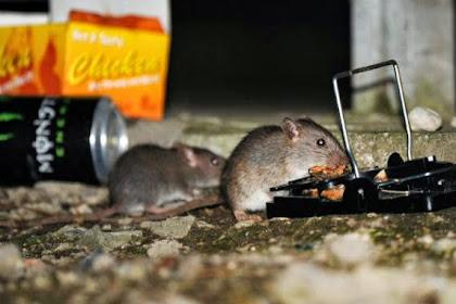 Ukuran Bertambah Besar, Tikus Pun Bertambah Pintar