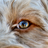 healthy cockapoo eye