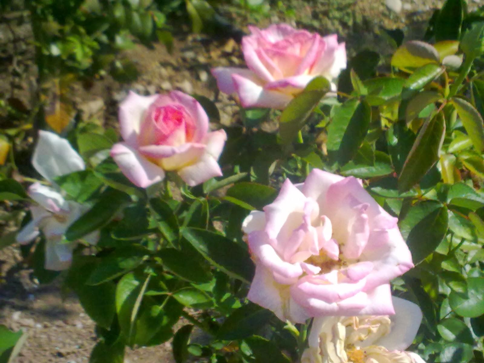 Fotos de flores ROSAS DE VARIOS COLORES - Imagenes De Tipos De Rosas