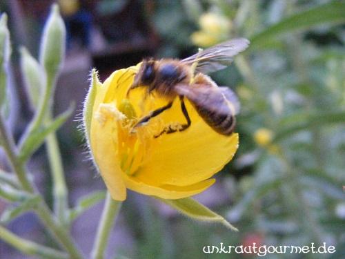 Bienenbestäubung der Nachtkerze