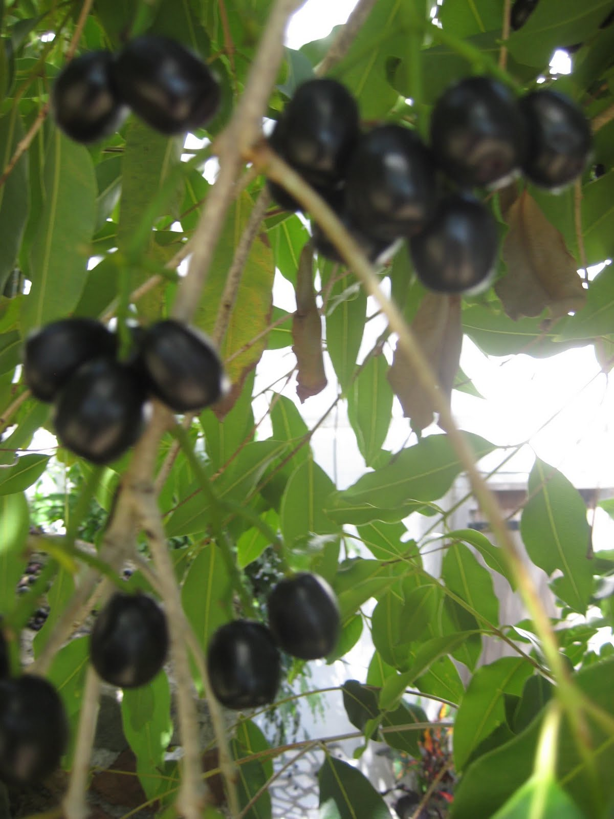 Wallpaper: Health Benefits of Jambul / Jamun (Syzygium Cumini)