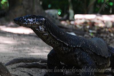 bayawak monitor lizard