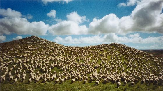 external image 3369064-Sheep_everywhere-New_Zealand.jpg