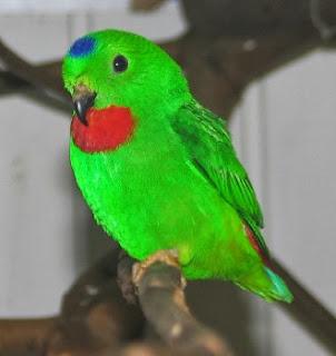 Tips Jitu Merawat Burung Serindit Agar Cepat Gacor