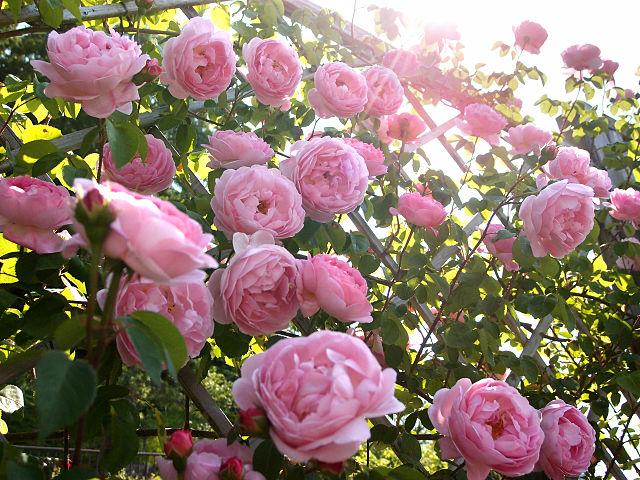 Le mie rose inglesi for Rose inglesi