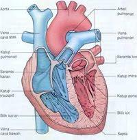 jantung, heart, Jumlah Darah Yang Dipompa Jantung Dalam Sehari