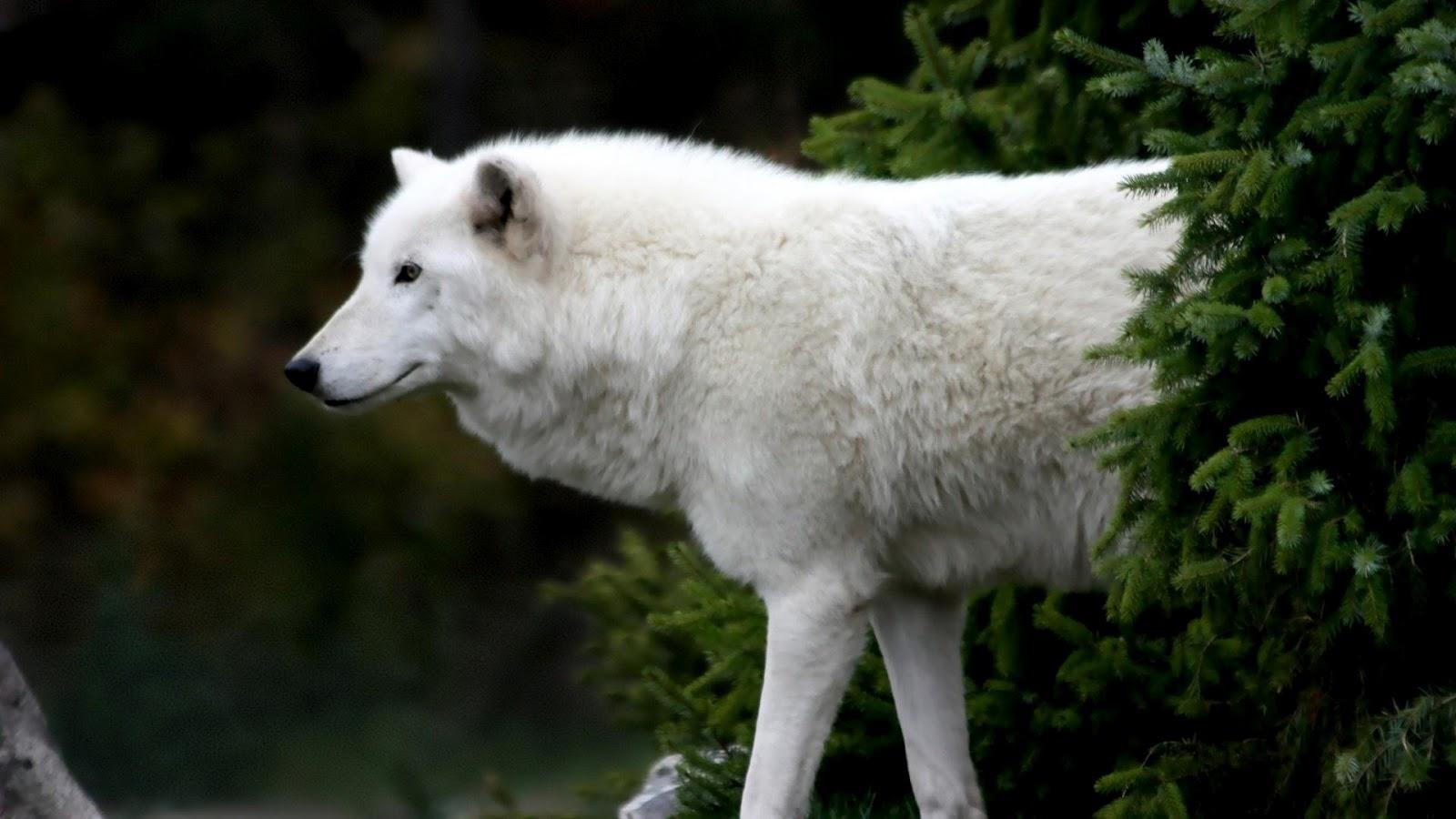 http://2.bp.blogspot.com/--DSU-2inpxc/T8cpbxJcLpI/AAAAAAAAaNA/PUfUVthW9gM/s1600/arctic_wolf_hd-1920x1080.jpg