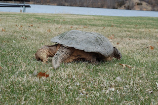 snapping turtle attack humans