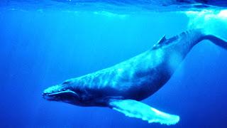 Paus Biru | hewan terbesar di dunia