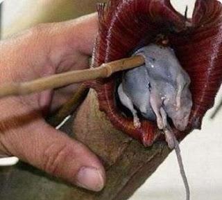 Planta Gigante Comedora de Rato