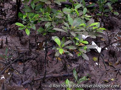 Lenggadai (Bruguiera parviflora)
