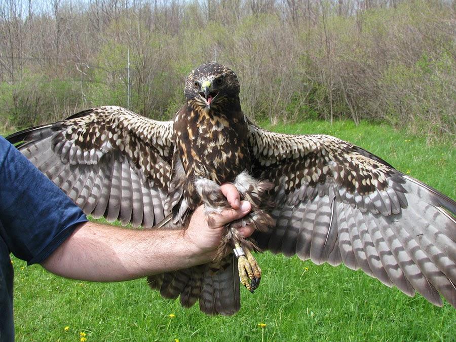 Swainsons Hawk Dark Juvenile