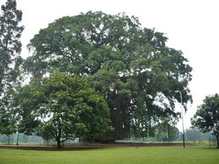 7 Pohon Terangker Di Dunia Yang Dijadikan Tempat Tinggal Hantu