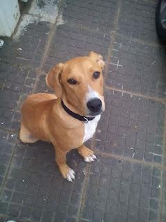 Βρέθηκε κουτάβι pitbull στο Καματερό. Το αναζητά κανείς?
