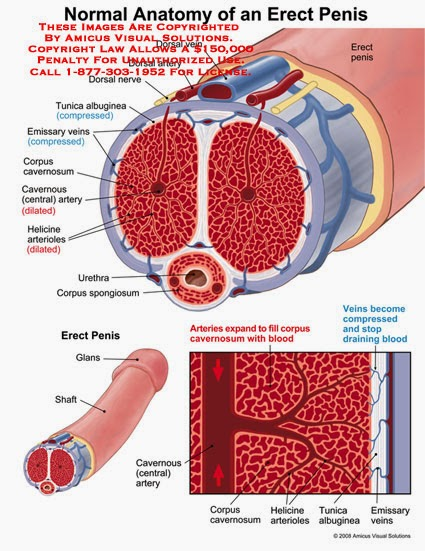 Ciencias de Joseleg: Vasodilatación del pene
