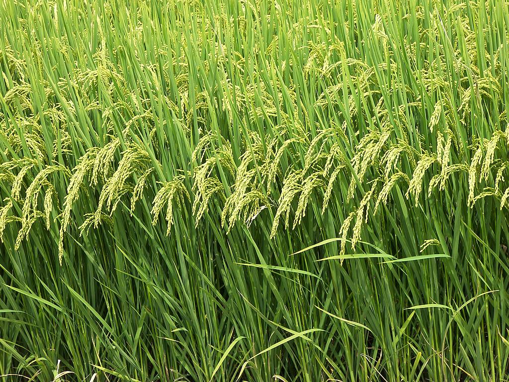 rice plants coordinate defensive attacks on the disease-causingImages Of Rice Plant