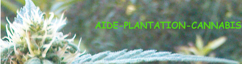 Aide plantation cannabis les exc s for Plantation cannabis exterieur