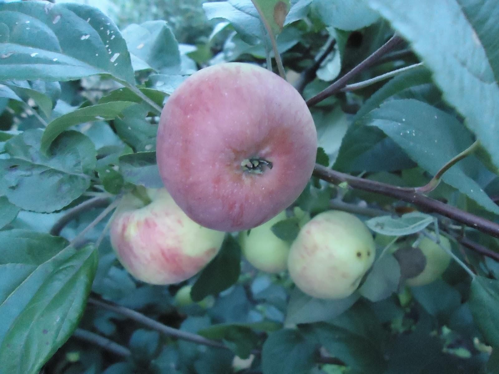 Как хранить яблоки зимой в домашних условиях 53