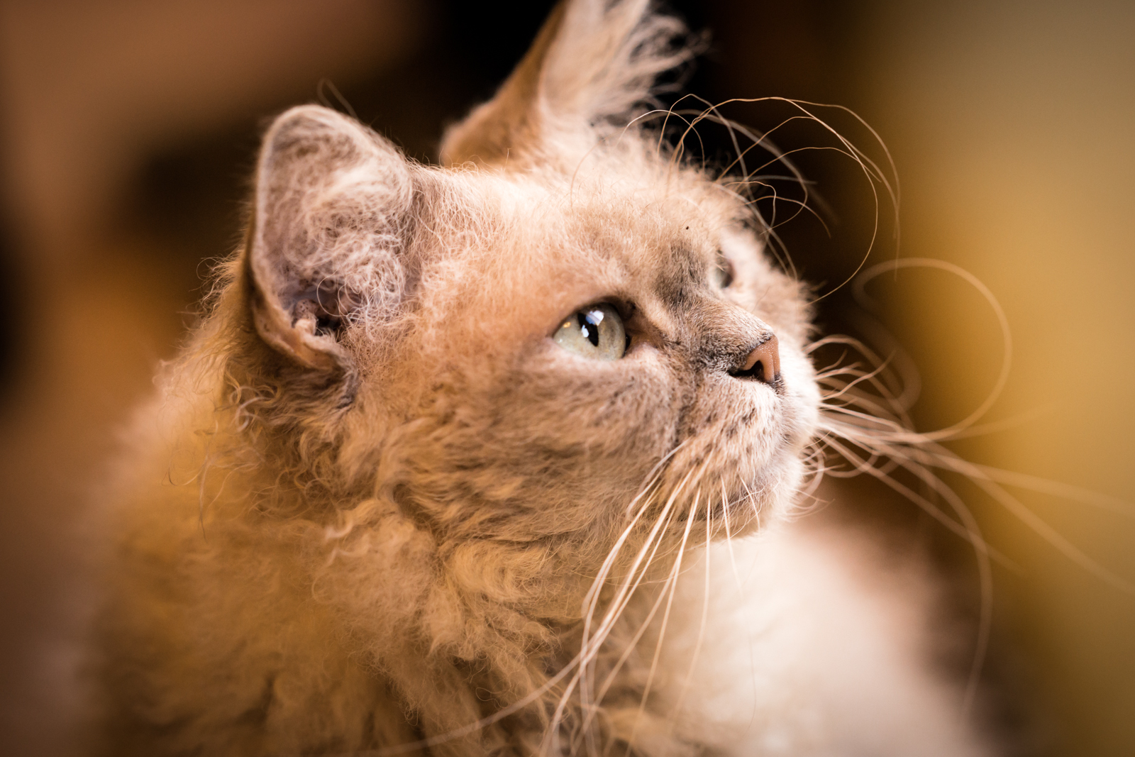 毛並みが可愛いラパーマの写真