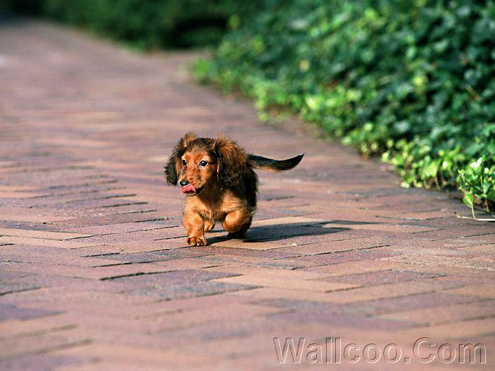 Cute Dogs: Miniature Dachshund Dog