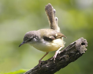 bar-winged Prinia, ciblek , ciblek jawa