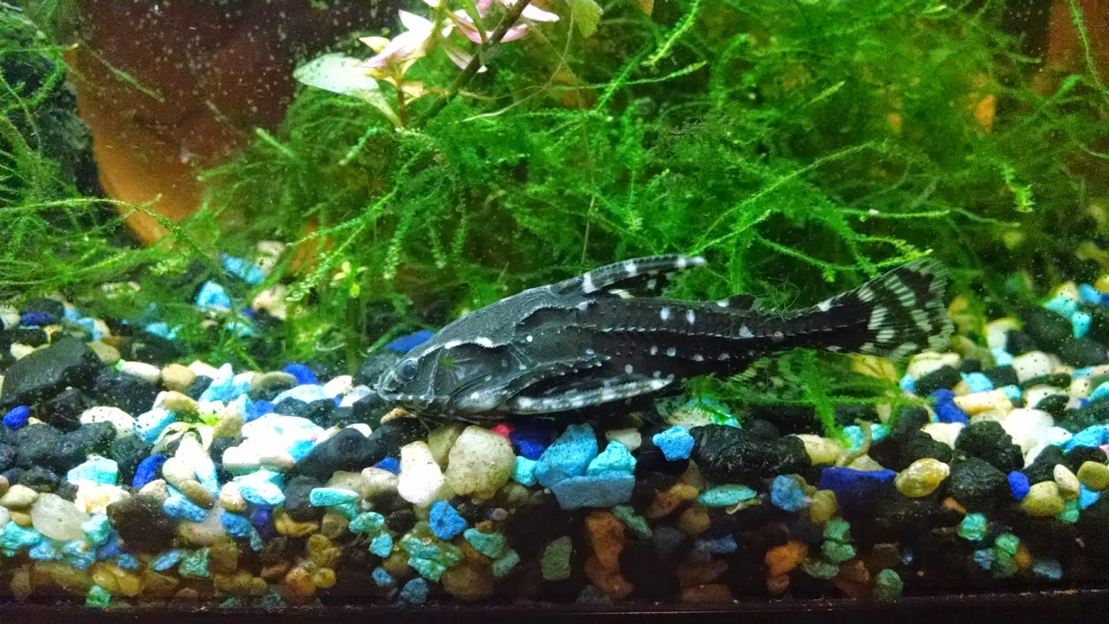 Spotted Raphael Catfish We got a spotted raphael