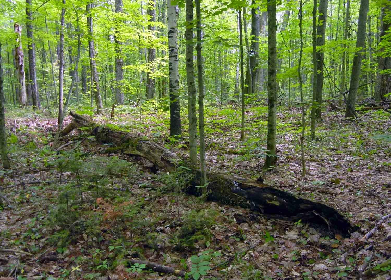 fungi on rotting maple log