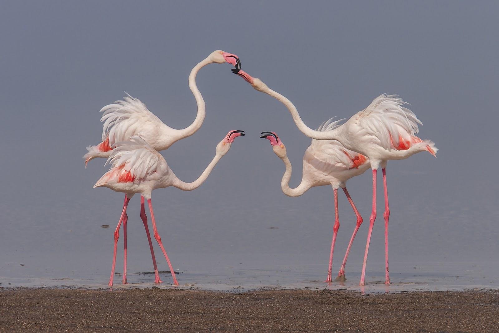 Flamingos College Tour