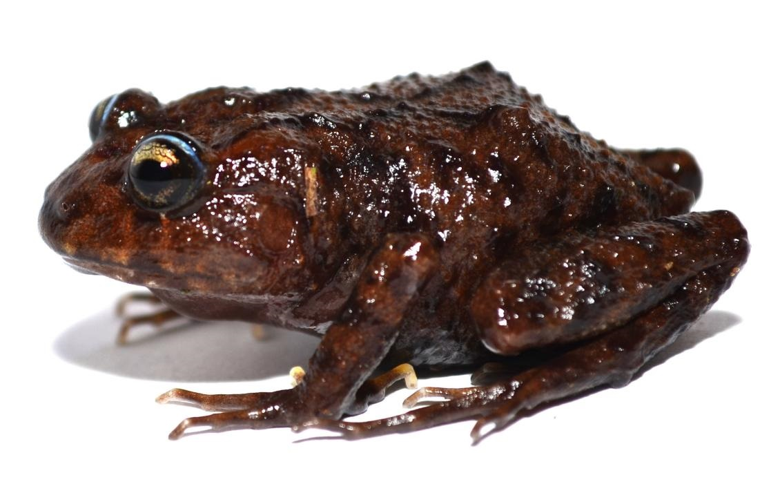 Lynchius megacephalus
