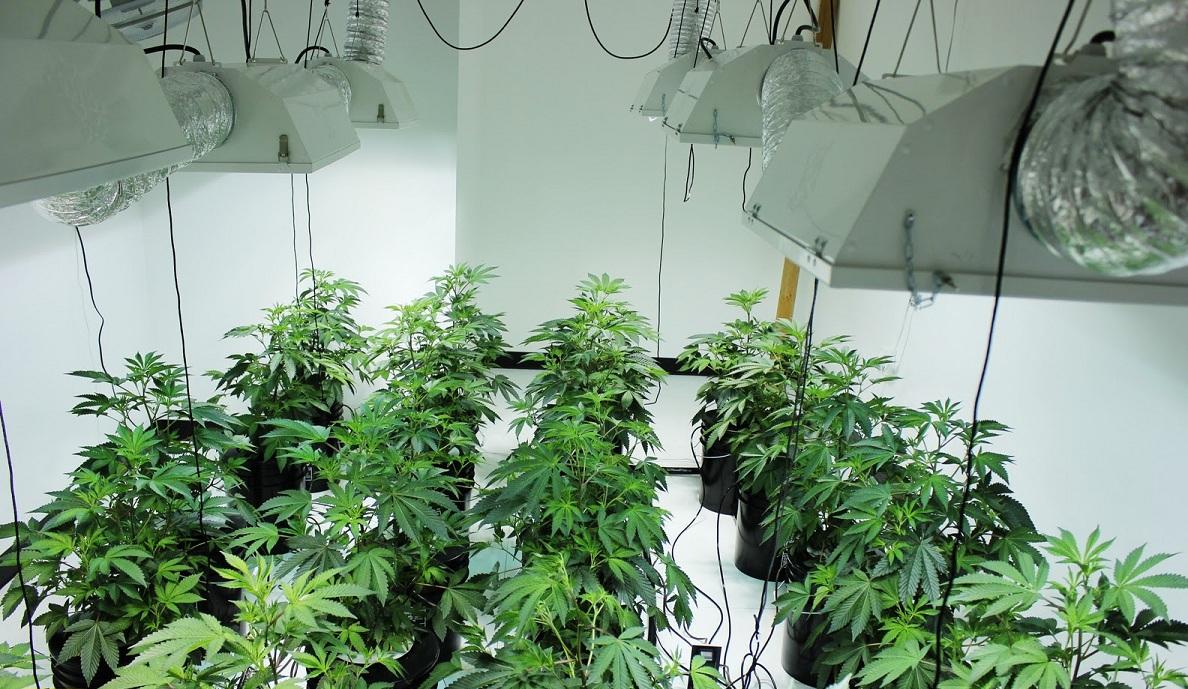 plantar semillas de cannabis